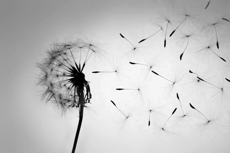 Dandelion Blowing Away